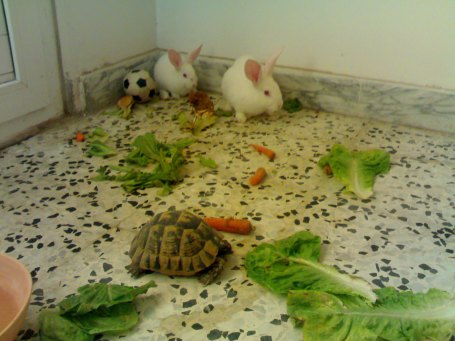 Rabbits-tortoise.jraba.tripoli.1
