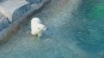 POLAR BEAR CUB-1st birthday-Nov 9 2014..TORONTO ZOO
