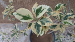 Fresh leaves from a plant I got from Suaani . This was one of our first journeys outside city limits after the second Tripoli uprising of August 2011. Many discussions and memories..see blog- Notes from a Libyan camp http://wp.me/piL5Q-eq
