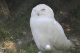 SNOWY OWL- TORONTO ZOO..The Zoo is a nice Reading place, where we made friends with many with whom we share our Planet
